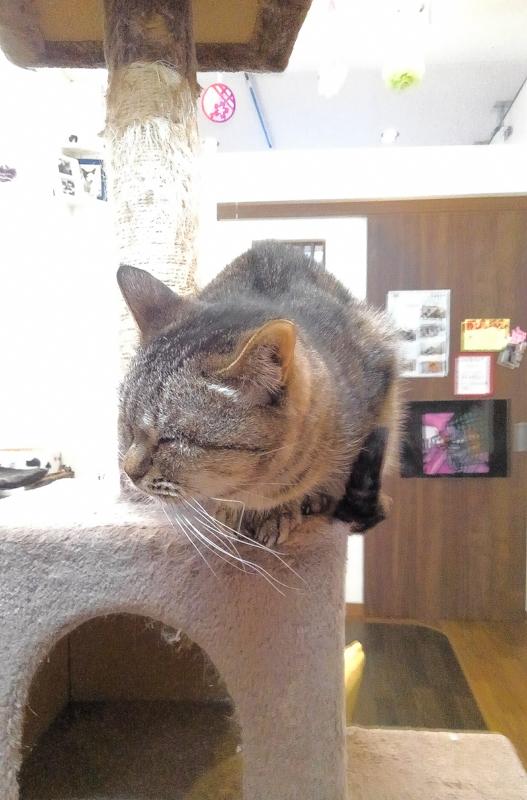 東道頓堀猫カフェ6